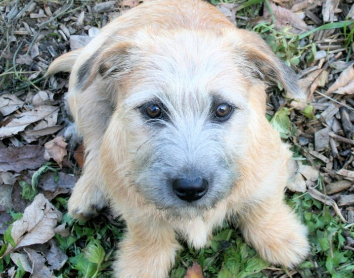 Glen of Imaal Terrier dog breed