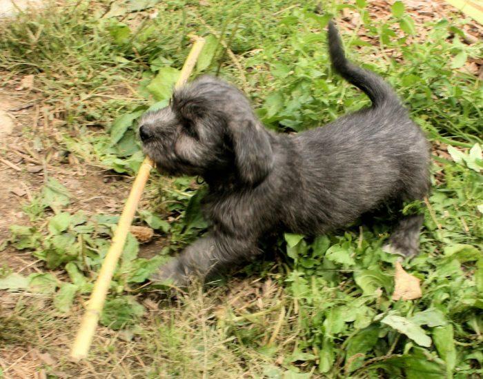Glen of Imaal Terrier puppy