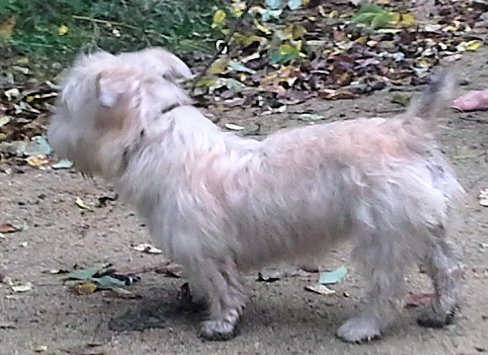 Tolerance side view, available adult Glen of Imaal Terrier