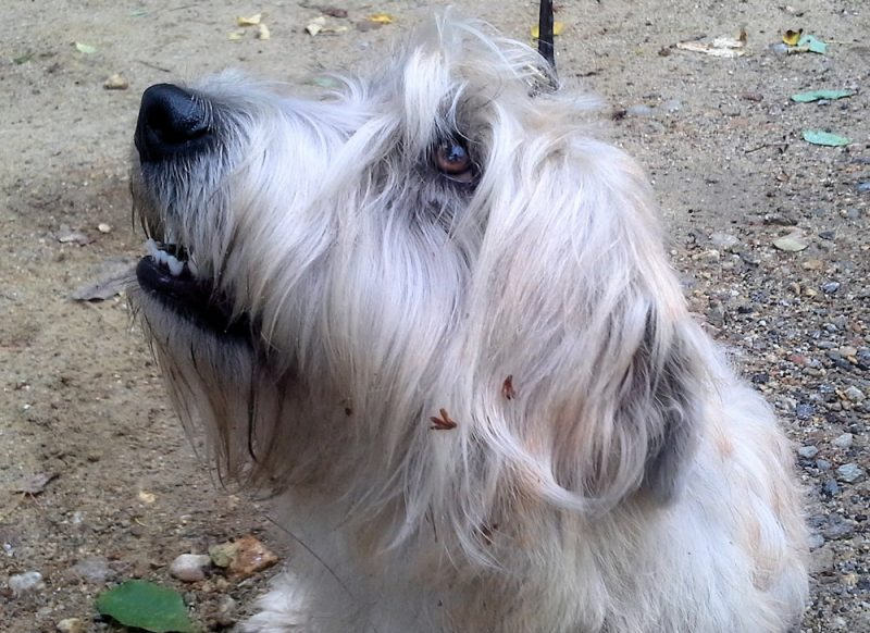 Tolerance smiling, available adult Glen of Imaal Terrier